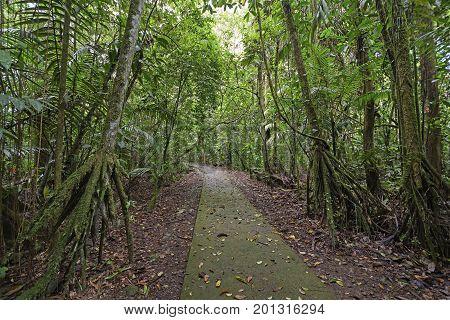Walking Palms along a Rain Forest Path in La Selva Biological Station in Costa Rica