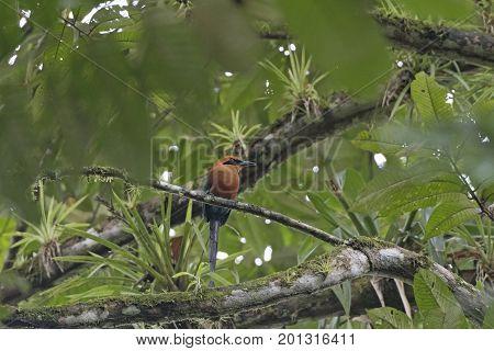 Rufous Motmot in a Rain forest tree in La Selva Biological Station in Costa Rica