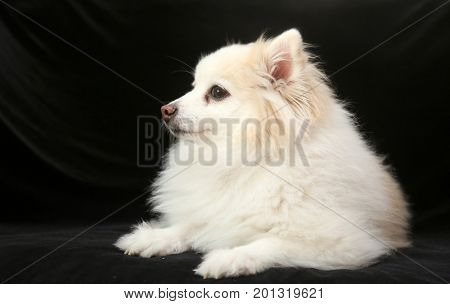 A beautiful Pomeranian dog poses for her portrait on black velvet in a photo studio.