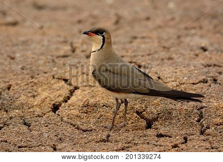 beautiful oriental pratincole (Glareola maldivarum) in drought area