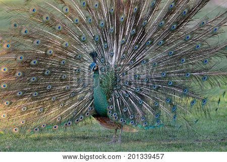 beautiful male Green Peafowl (Pavo muticus) inThai forest