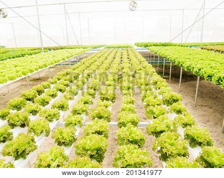 Vegetables hydroponics system in greenhouse, Green oak salad leaves