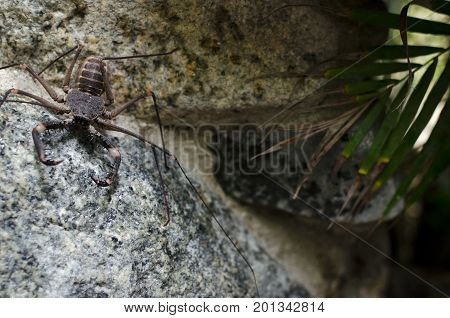 Whip spider on the rock - tropical creature
