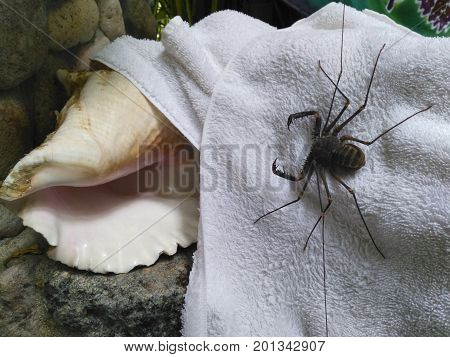 Tailess whip scorpion on a white towel in outdoor shower in tropics