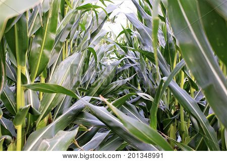 An image of a corn field - nature