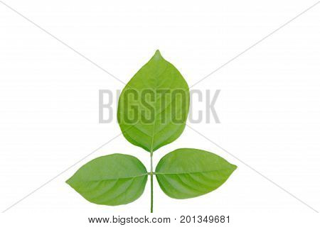three leaf texture on the white background