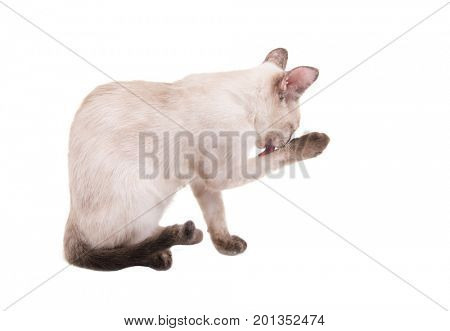 Side view of a tortie point Siamese kitten licking her paw, on white