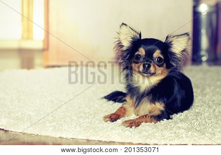 Chihuahua puppy indoors lying on white wool carpet on floor