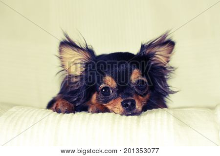 Chihuahua puppy lying on bed white blanket indoors
