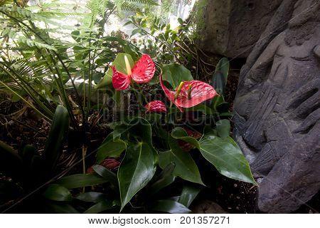 Anthurium or flamingo flower bloom in tropical garden