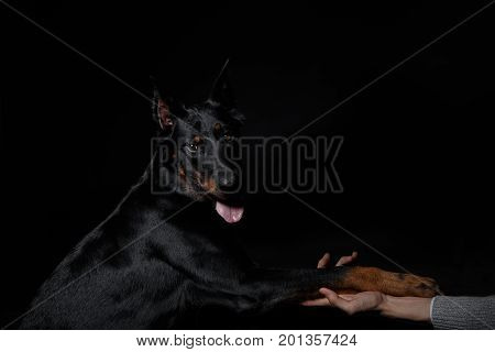 French Shepherd Dog Paw In Human Hand, Friendship
