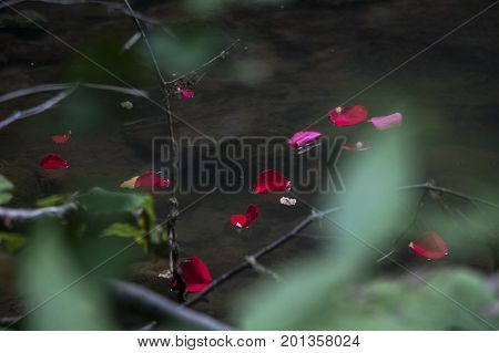 Rose Petals Floating On The Surface Of Pond
