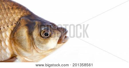 Carassius fish head, scales skin texture photo. Macro view Crucian carp scaly pattern. Selective focus, shallow depth field. White background, copy space.