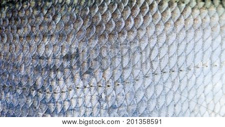 Bream fish scales textured skin pattern macro view. Selective focus, shallow depth field.