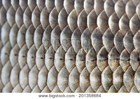 Fish scales skin textured pattern photo. Macro view Crucian carp Carassius scaly with Lateral line. Selective focus, shallow depth field