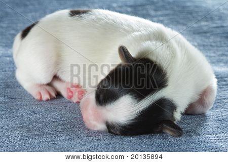 Newborn Papillon Puppy