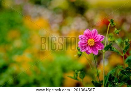 A closeup of beautiful outstanding pink cosmos flower with garden bokeh background. A blooming pink cosmos with copy space.