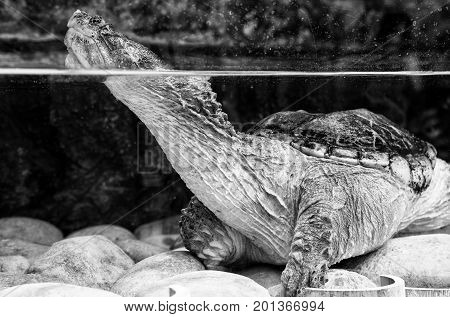Chelydra serpentina turtle in the cold water