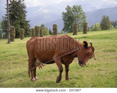Cow On A Chain In Zakopane Poland