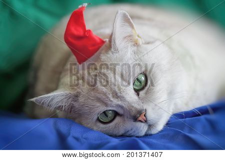 Big silver British cat in red Christmas hat tired of the bustling New Year holidays, he was today Santa Claus, on vivid bright background. Festive holidays background