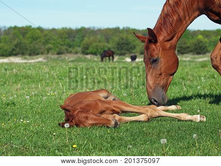 Foal with a mare on a green pasture