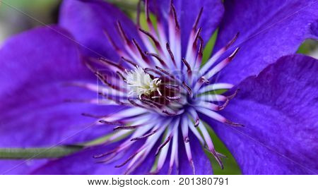 Close up of a blue Clematis blossom