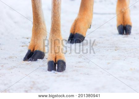 Four Hooves On A Snow