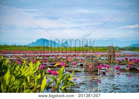 Colorful view of pink lotus in Thale Noi, Phatthalung, Thailand. Lotus and fish trap with mountain background on sunny day.