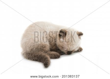 Lop eared kitten isolated on white background
