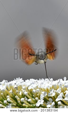 Close up of a Hummingbird hawk-moth feasting on nectar