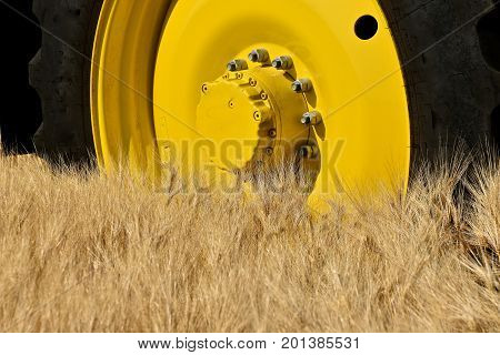 Golden wheat glistens alongside a tire and golden wheel of a combine in a field