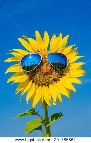 Glasses sunflower  and reflection of bright blue sky on sunny day background.