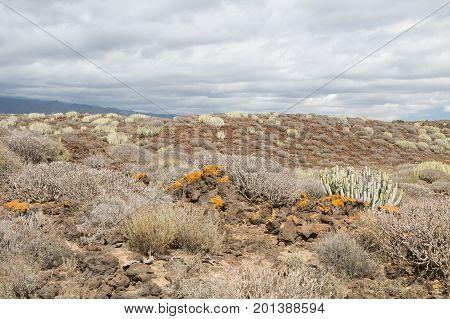 Canary Spurge In Tenerife, Spain