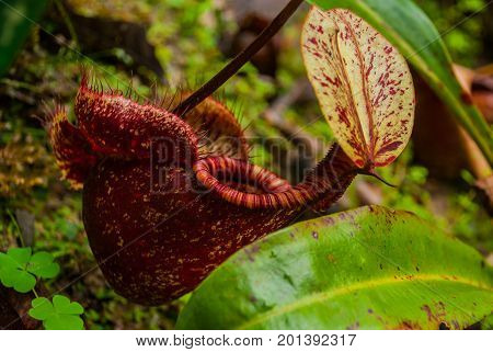 Nepenthes, Tropical Pitcher Plants And Monkey Cups. Borneo, Malaysia