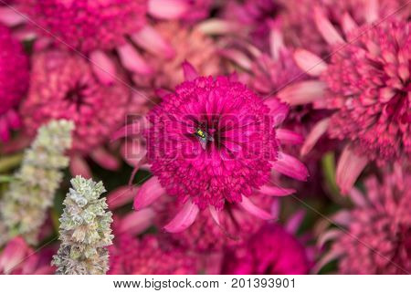 Closeup blooming beautiful pink decorative Echinacea flower or coneflower, aster family, hybrid plant called Southern Belle, with green fly on the petals