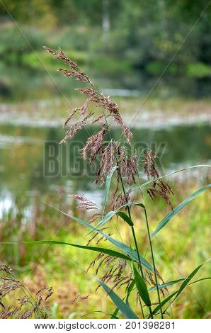 The drooping reed in the background of a blurred forest and a lake