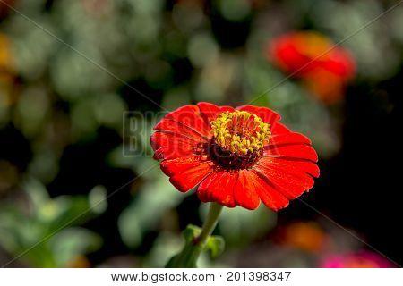 Beautiful red zinnia flower. Close-up of blooming zinnia flower.