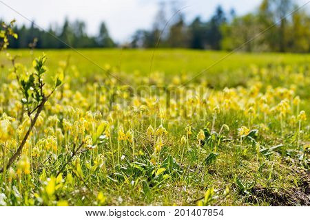 Some yellow Cowslips in the big Meadow