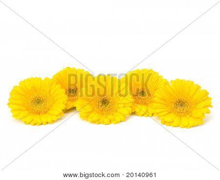Beautiful daisy gerbera flowers isolated on white background