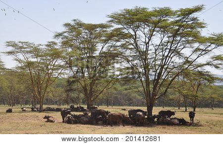 Herd of cape buffalo resting under the trees