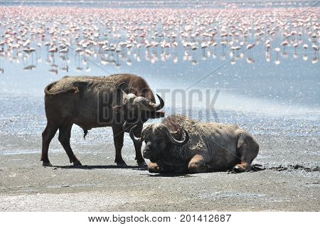 cape buffalo at lake with flamingos in the background