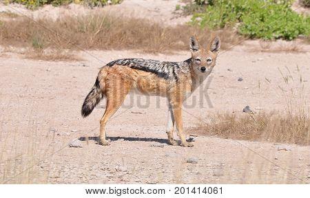 Beautiful black-backed jackal in the sun, spotting us.