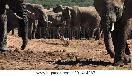 Black-backed jackal surrounded by a herd of elephants (oops!).
