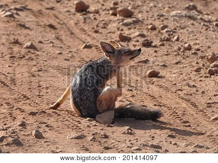 Black-backed jackal with an itch, scratching itself.