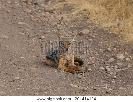 Black-backed jackal lying on the road, looking at us