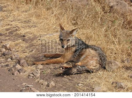 Black-backed jackal looking suspiciously but not moving