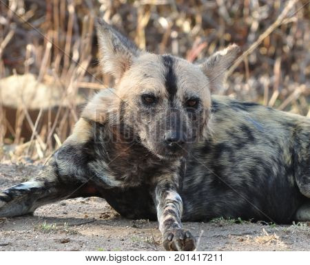African Wild Dog, spotted in Kruger park (very rare!).