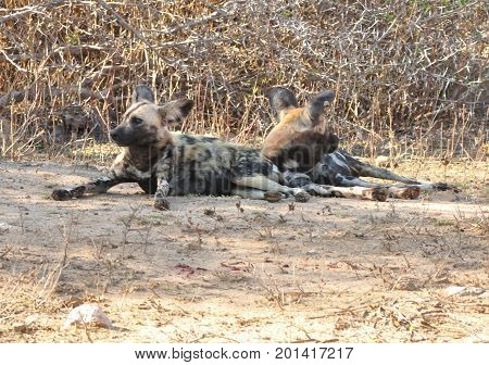 African Wild Dogs at ease in Kruger park.