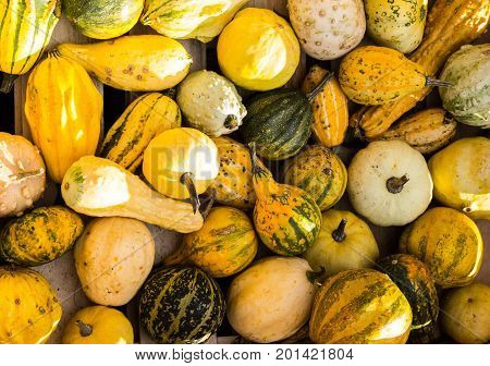 yellow green pumpkins on a pile in a wooden box in the sun