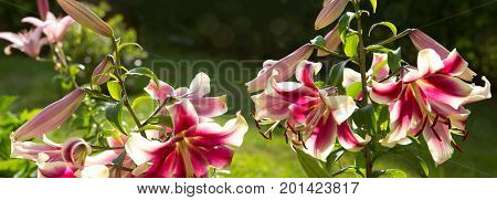 Pink lily flowers isolated on a green background. Holiday card.Oriental Trumpet Lily Mr. Job